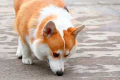 Welsh corgi. Smell the road Royalty Free Stock Photos