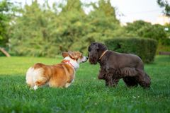 Welsh Corgi sniffs the nose of a spaniel during a summer walk in a green park