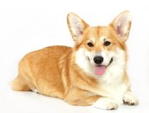 Welsh Corgi on the studio in the white background,. Funny corgi Pembroke, Welsh Corgi on the studio in the white background Stock Image