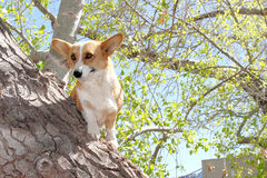 Welsh Corgi Tree Dog Dilemma Stock Image