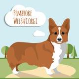 Welsh corgi vector. Welsh corgi pembroke vector illustration Stock Image
