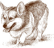 Welsh Corgi on a walk. Vector image of a walking dog stock illustration