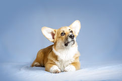 Welsh corgie pembrock puppy with dreaming face Royalty Free Stock Photography