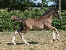 Welsh Foal Stock Photography