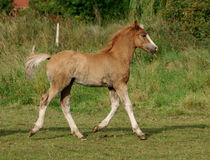Welsh Foal Trotting Stock Photo