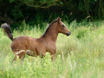 Welsh Foal Trotting Royalty Free Stock Images