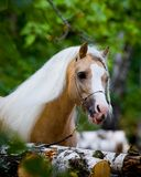 Welsh horse in wood Royalty Free Stock Photo