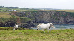 Welsh horses in Trefin near Abercastle Stock Images
