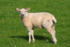 Welsh Lamb. A sharp shot of a mature lamb from south wales, uk stock images