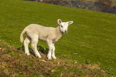 Welsh Lamb in the Sun. A new Welsh lamb enjoys the feel of the sun on the lower flanks of Cadair Idris Stock Photography