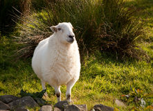 Welsh lamb in verdant meadow. Close of of welsh hill sheep in meadow royalty free stock images