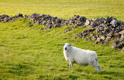 Welsh lamb in verdant meadow. Close of of welsh hill sheep in meadow stock images