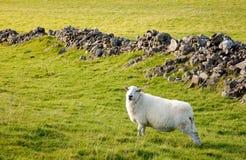 Welsh lamb in verdant meadow Stock Images