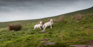 Welsh lambs in Brecon Stock Photo