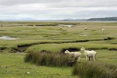 Dwyryd Estuary sheep in Wales. Welsh lambs, sheep grazing salt marshes on the River Dwyryd Estuary, Gwynedd in North Wales, UK Stock Photography