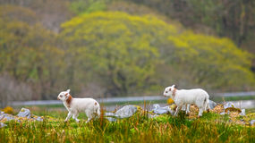 Welsh lambs. Welsh Spring lambs with copyspace Stock Photography