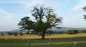 Welsh Landscape: Grazing Sheep. Blue skies over grazing sheep in welsh landscape Royalty Free Stock Photos