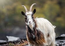 Free Welsh Mountain Goats Wild In Rocky Slate Quarry Mine Hillside. Bearded Exploring Hillside Of Snowdonia Will Long Hair And Horns Stock Photos - 217905043