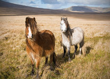 Welsh Mountain Ponies Stock Photo