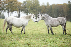 Welsh mountain ponnies in autumn Stock Image
