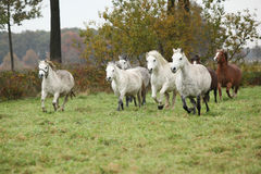 Welsh mountain ponnies running in autumn Stock Images