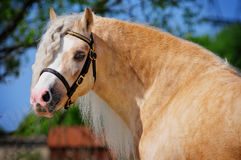 Welsh mountain pony Royalty Free Stock Images