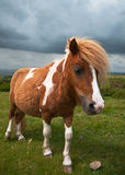 Welsh Mountain Pony Royalty Free Stock Photo