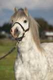 Welsh mountain pony with halter Stock Image