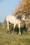 Welsh mountain pony running Royalty Free Stock Images