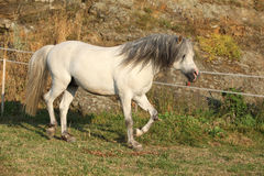 Welsh mountain pony running Royalty Free Stock Photography