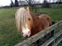Welsh Mountain Pony 2 - See You Royalty Free Stock Photos