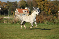 Welsh mountain pony stallion galloping Royalty Free Stock Images