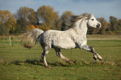 Welsh mountain pony stallion galloping Stock Photo
