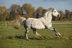 Welsh mountain pony stallion galloping