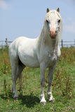 Welsh mountain pony stallion looking at you
