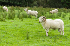 Welsh Mountain Sheep Royalty Free Stock Photo