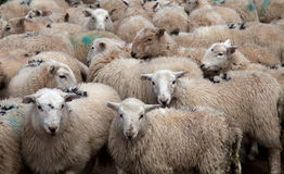 Welsh Mountain Sheep Royalty Free Stock Photos
