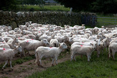 Welsh Mountain Sheep Royalty Free Stock Images