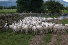 Welsh Mountain Sheep Stock Images