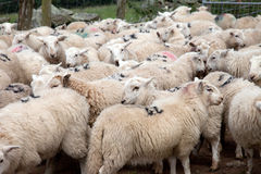 Welsh Mountain Sheep Stock Image