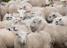 Welsh Mountain Sheep Stock Photo