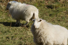 Welsh Mountain Sheep. Ewes a hardy breed suited to the harsh hill and mountain ranges of Wales usually kept outdoors all year round Stock Photo