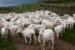 Welsh Mountain Sheep - just shaved Royalty Free Stock Image