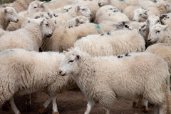 Welsh Mountain Sheep Stock Photography
