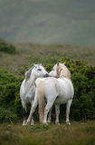 Welsh Moutain Ponies. A pair of Welsh Mountain ponies greet each other in the Welsh Country side Royalty Free Stock Photography
