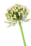 Welsh onion Royalty Free Stock Photography