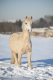 Welsh palomino pony Stock Images