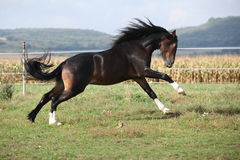Welsh part bred stallion jumping Royalty Free Stock Image