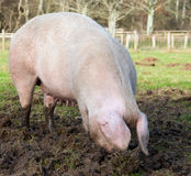 Welsh Pig Stock Images