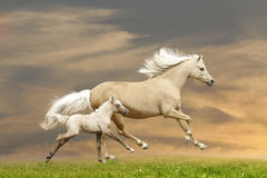 Welsh ponies. Running in sunset Royalty Free Stock Photography